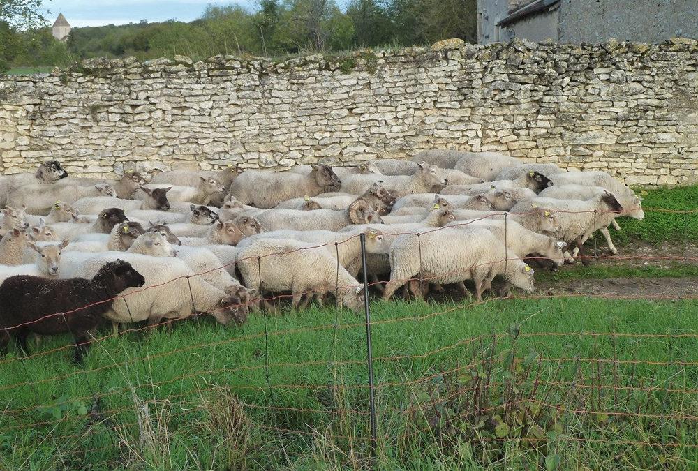 L'OABA sauve 228 moutons