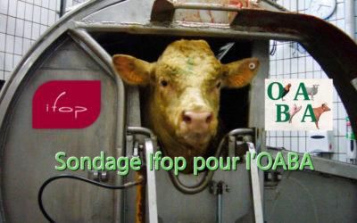 Les Français et l'abattage rituel sans étourdissement des animaux