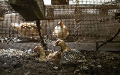 Élevages insalubres : l'OABA dénonce le manque d'effectif des vétérinaires inspecteurs