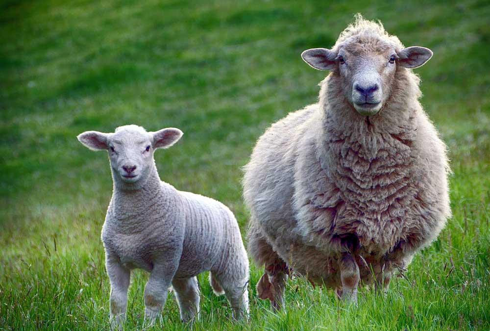 Pour la CJUE, un État membre peut imposer l'étourdissement des animaux lors d'abattages rituels
