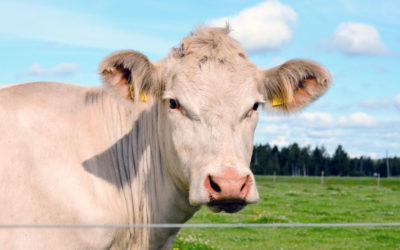 Lettre des animaux aux humains : la charolaise