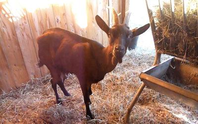 5 chèvres de réforme sauvées de l'abattoir