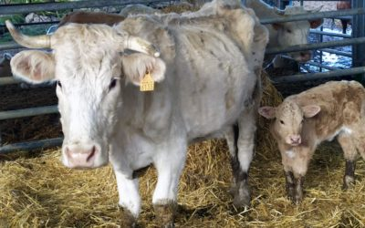 L'OABA accueille une cinquantaine de bovins victimes de mauvais traitements
