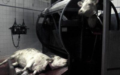 Le Comité National d'Éthique des Abattoirs vient-il de perdre son éthique ?