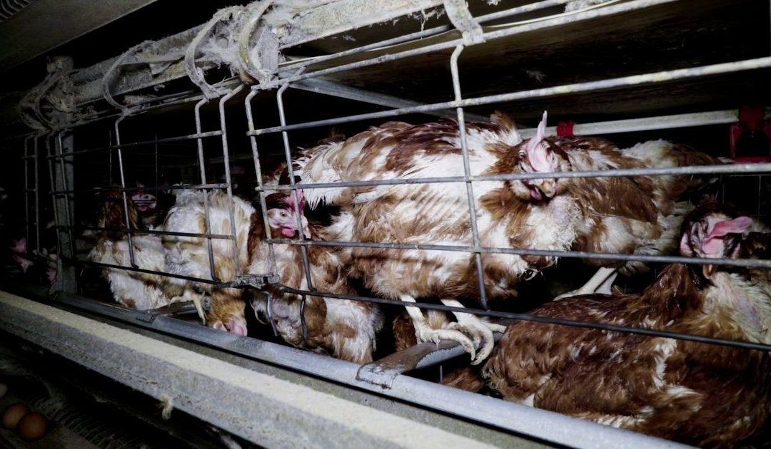 Animaux d'élevage : la communication gouvernementale VS les actes