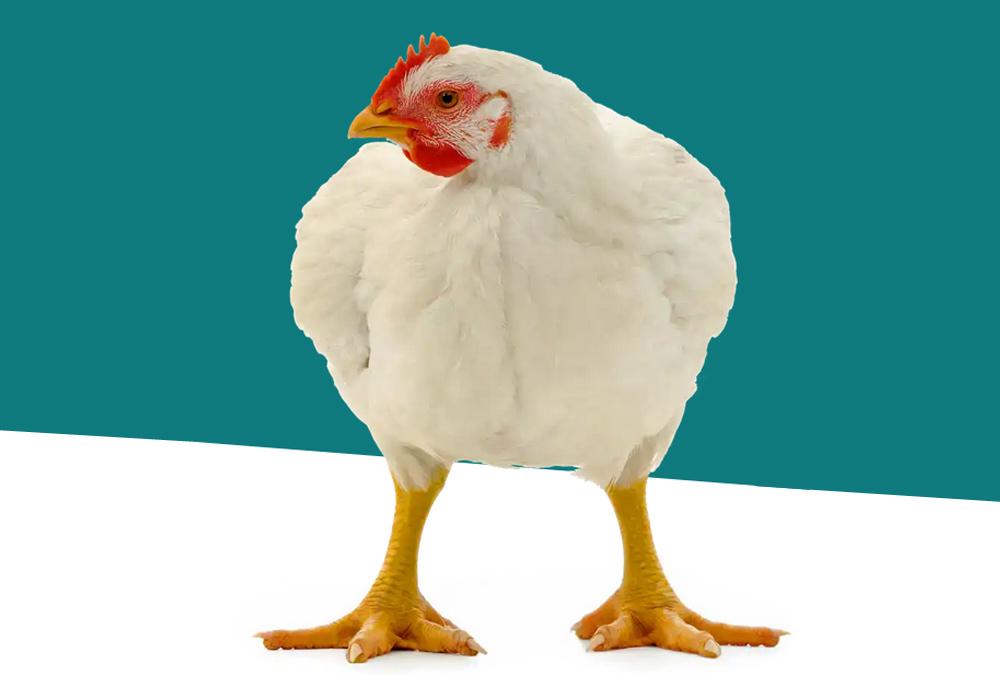 Europe : l'OABA rejoint le Better Chicken Commitment