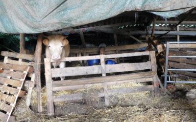 Saisie d'ampleur dans l'Allier : 109 bovins pris en charge