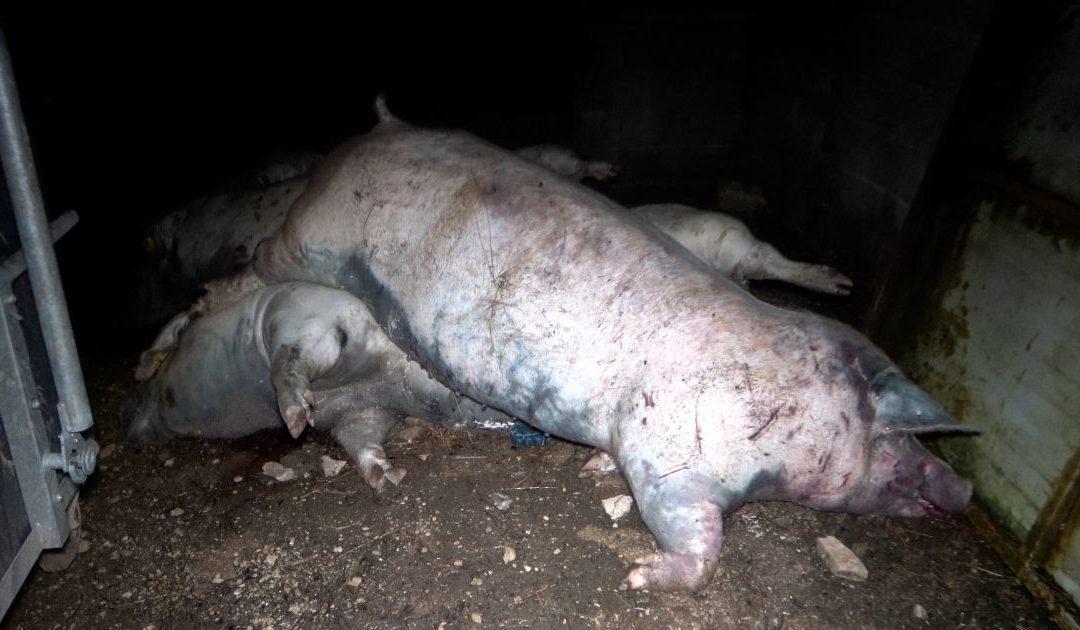 Maltraitance dans un élevage de porcs : l'OABA porte plainte